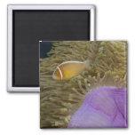 Vida subacuática; PESCADOS: Clownfish (rosa Imán