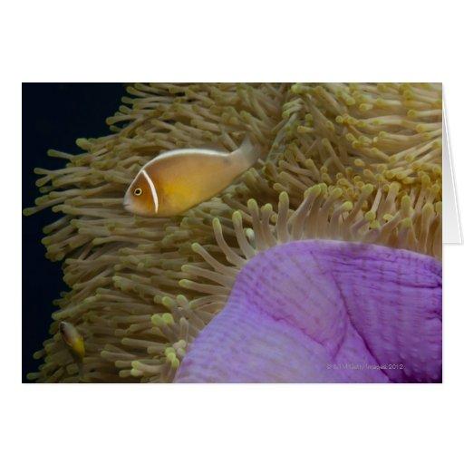 Vida subacuática; PESCADOS: Clownfish (rosa Tarjetón