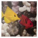 Vida subacuática; PESCADOS: Tang amarillo (Zebraso Azulejo Cuadrado Grande