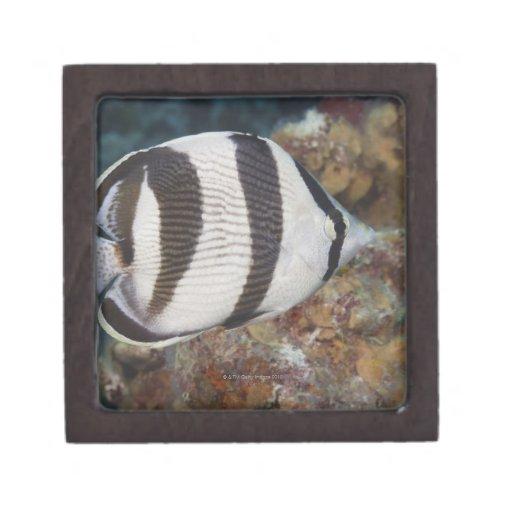 Vida subacuática; PESCADOS:  Un Butterflyfish cong Cajas De Recuerdo De Calidad
