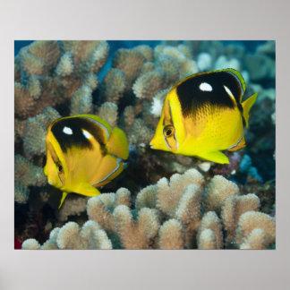 Vida subacuática; PESCADOS:  Un par de Fourspot Poster