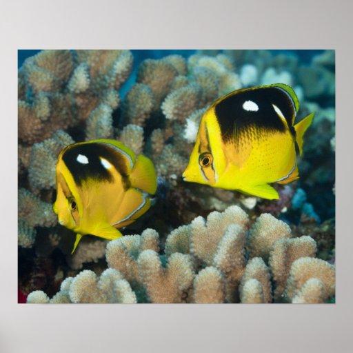 Vida subacuática; PESCADOS:  Un par de Fourspot Póster