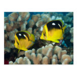 Vida subacuática; PESCADOS:  Un par de Fourspot Postales