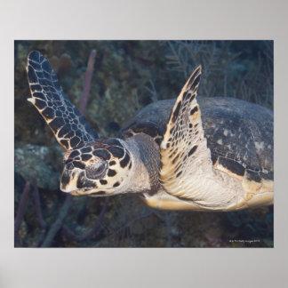 Vida subacuática: Una tortuga de mar de Hawksbill  Posters