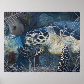 Vida subacuática: Una tortuga de mar de Hawksbill Impresiones