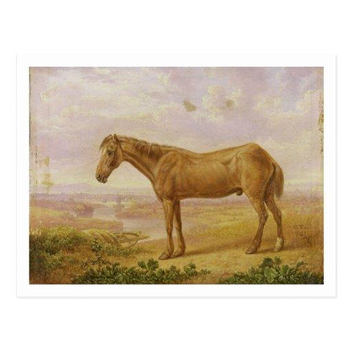 Viejo Billy, un caballo de proyecto, envejecido 62 Postal