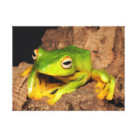 Vietnamese Black-Webbed Gliding Frog Canvas Print