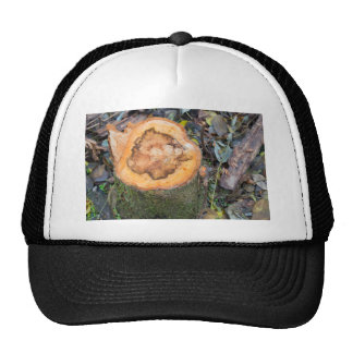 View from above on the surface of a fresh cut tree trucker hat