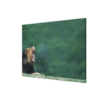 View of a Lion (Panthera leo) laying on the Canvas Print