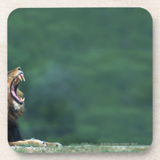 View of a Lion (Panthera leo) laying on the Drink Coaster