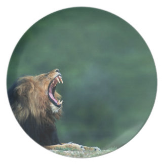 View of a Lion (Panthera leo) laying on the Melamine Plate