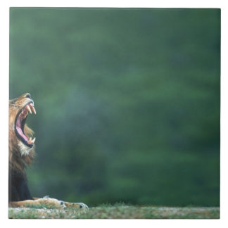 View of a Lion (Panthera leo) laying on the Large Square Tile