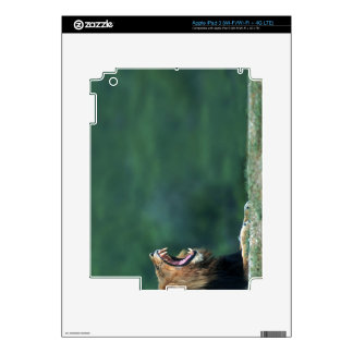 View of a Lion (Panthera leo) opening its mouth Decal For iPad 3