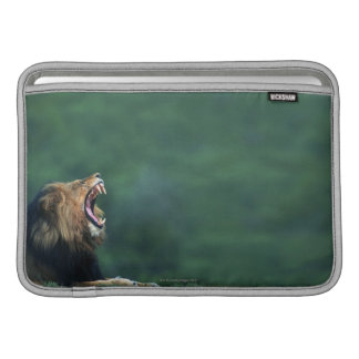 View of a Lion (Panthera leo) opening its mouth MacBook Air Sleeves