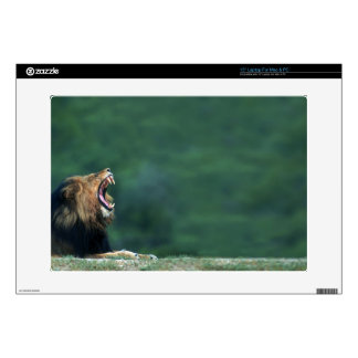 View of a Lion (Panthera leo) opening its mouth Laptop Decals