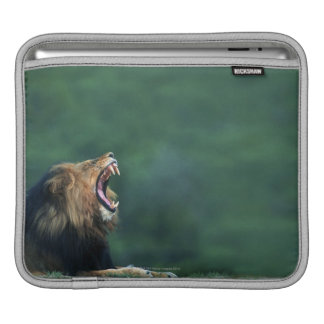 View of a Lion (Panthera leo) opening its mouth Sleeve For iPads