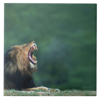 View of a Lion (Panthera leo) opening its mouth Tile