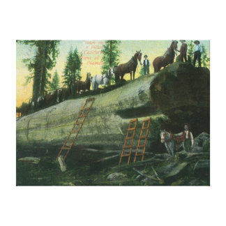 View of a Logging Team on a Fallen Redwood Canvas Prints