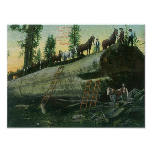 View of a Logging Team on a Fallen Redwood Poster