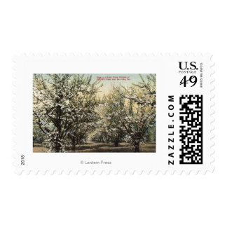 View of a Prune Orchard of 300,000 Trees Postage