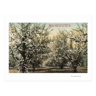 View of a Prune Orchard of 300,000 Trees Postcard