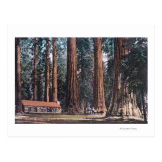 View of Big Trees in Mariposa Grove Postcard