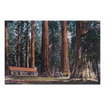 View of Big Trees in Mariposa Grove Poster