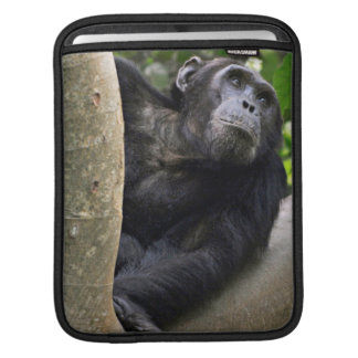 View Of Chimpanzee (Pan Troglodytes) In Tree Sleeve For iPads