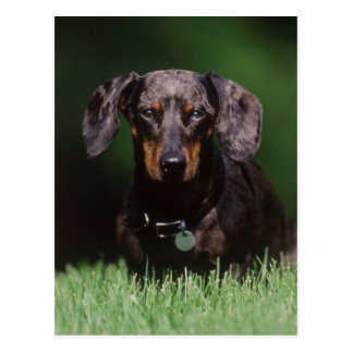 View of Dapple colored Dachshund Postcard
