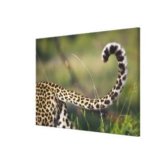 View of Leopards tail (Panthera pardus), Canvas Print