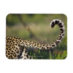 View of Leopards tail (Panthera pardus), Rectangle Magnet
