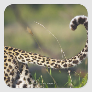 View of Leopards tail (Panthera pardus), Square Sticker