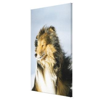 View of shetland sheepdog canvas print
