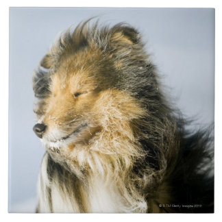 View of shetland sheepdog ceramic tile