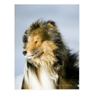 View of shetland sheepdog postcard