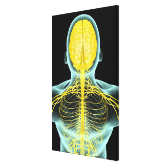 View of the nerves in the upper body from above canvas print