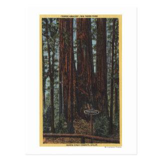 "View of ""Three Graces"" at Big Trees Park Postcard"