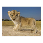 View of young lion cub (Panthera leo), looking Postcard