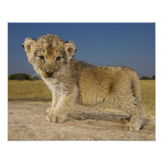 View of young lion cub (Panthera leo), looking Poster