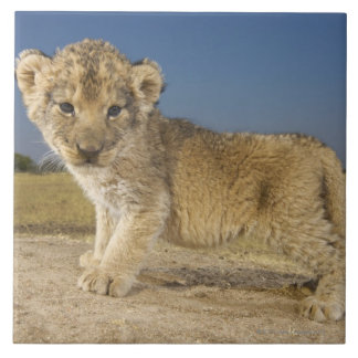 View of young lion cub (Panthera leo), looking Large Square Tile