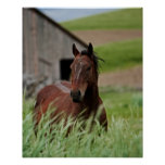 Viewing horses in a field in the Palouse Poster