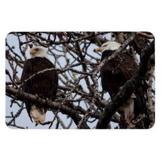 Vigilant Bald Eagles Magnet