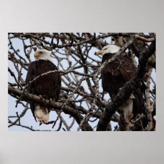 Vigilant Bald Eagles Posters