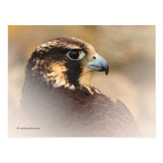 Vignetted Profile of a Peregrine Falcon Postcard
