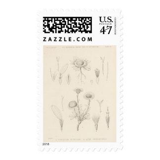 VII Townsendia, Aster Postage