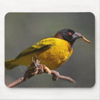 Village Weaver on branch Mouse Pad
