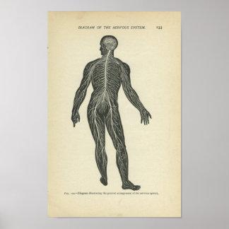 Vinatge Anatomy Print Nervous System