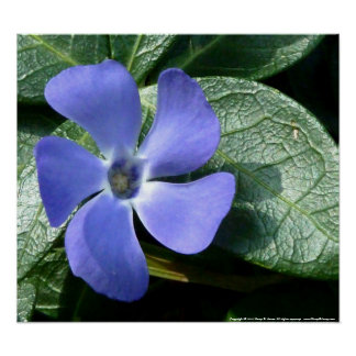 Vinca Major Blossom Poster