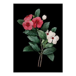 Vinca pink and white flowers floral poster