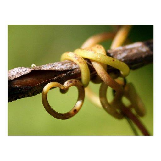 Vine of Love Post Card